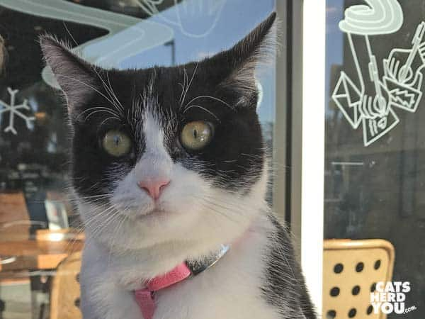 black and white tuxedo kitten wears surprised expression
