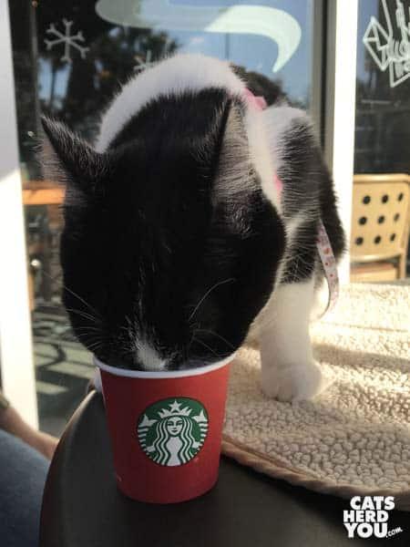 black and white tuxedo kitten eats from tiny starbucks cup
