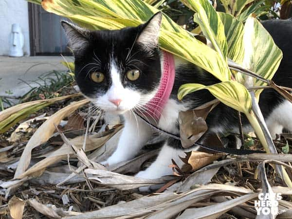black and white tuxedo kitten peers around plants