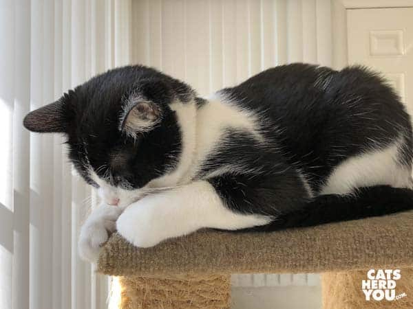 black and white tuxedo kitten buries face in paws on cat tree