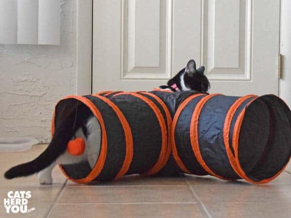 black and white tuxedo kitten walks through play tunnel