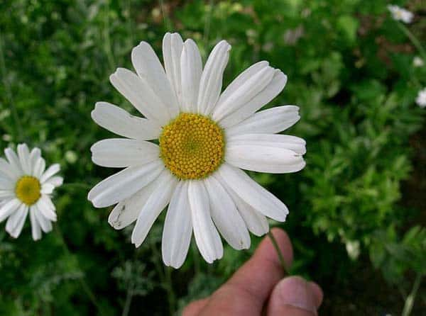 Tanacetum cinerariifolium flower. Image courtesy Wikimedia Commons.