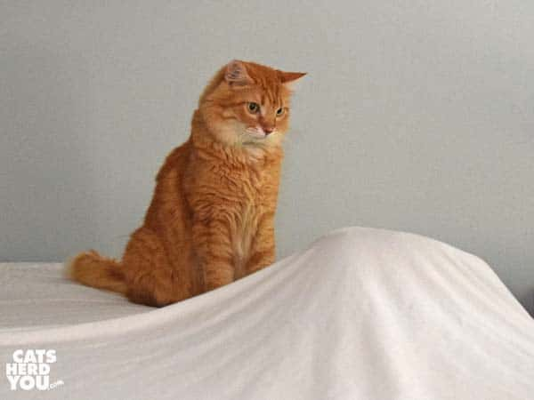 orange medium-hair tabby cat plays with object under sheets