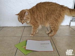 orange tabby cat with greeting card