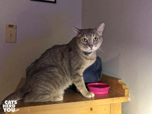 gray tabby cat sits next to bowl