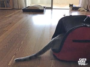 gray cat tail sticking out of sleepypod air carrier as black and white tuxedo cat looks on