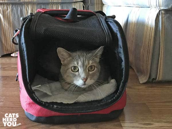 gray tabby cat in sleepypod air carrier
