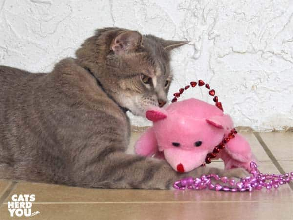 gray tabby cat swats plush, pink bear