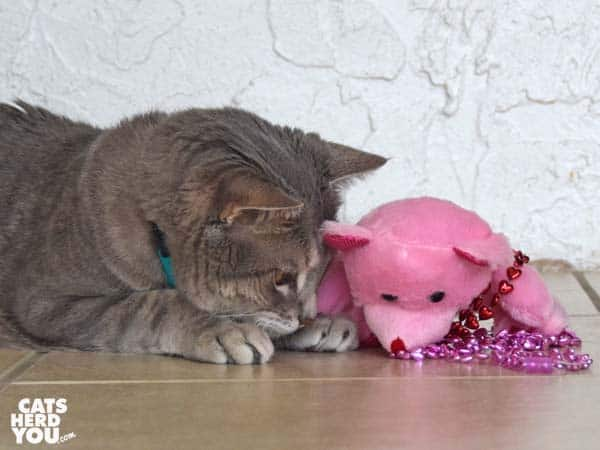 gray tabby cat looks at plush pink bear