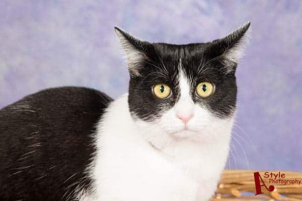 black and white tuxedo cat looks unhappy