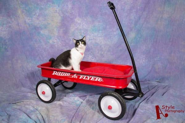 black and white tuxedo cat sits in red wagon