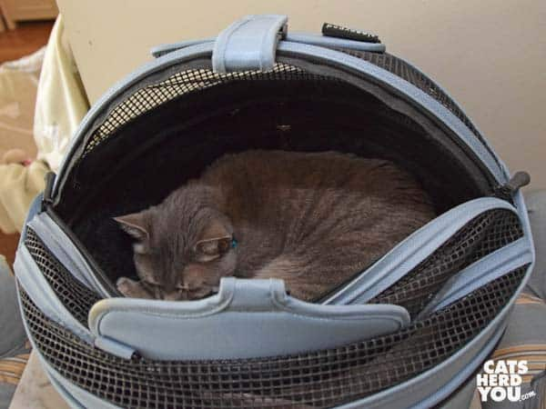 gray tabby cat sleeps in Sleepypod