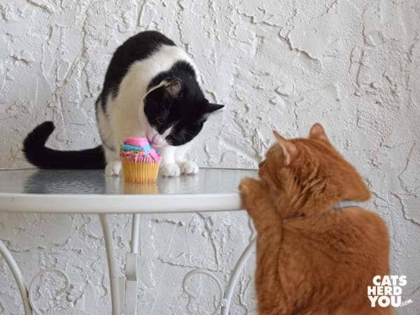 black and white tuxedo cat licks icing off cupcake while orange tabby cat looks on
