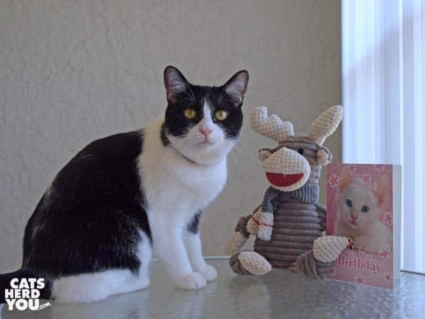 black and white tuxedo cat with sock monkey toy