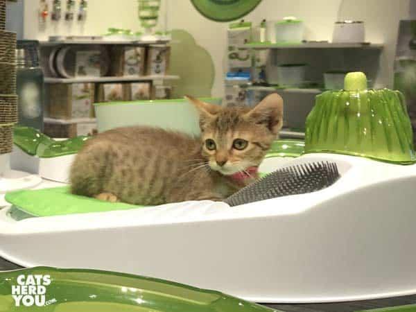 playing adoptable kitten, Coral