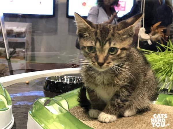 Kitten at Global Pet Expo 2018