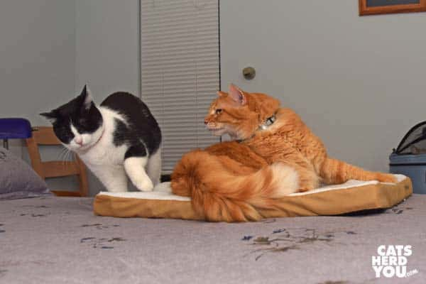 orange tabby cat prevents black and white tuxedo cat from joining him on heated pad