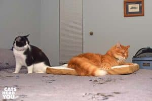 orange tabby cat lounges on heated pad as black and white tuxedo cat looks on
