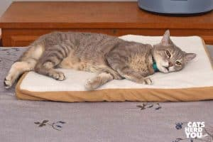 gray tabby cat lounges on heated pad