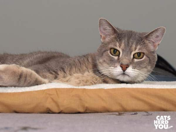 gray tabby cat loungest on heated pad