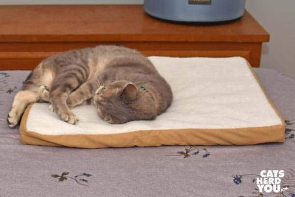 gray tabby cat curled up on heated mat