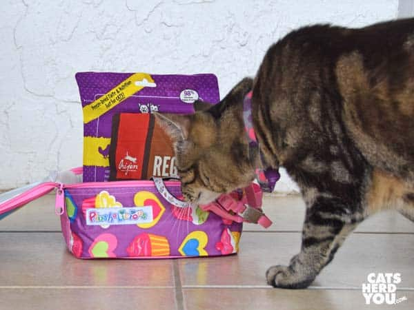 brown tabby cat looks at lunchbox full of cat items