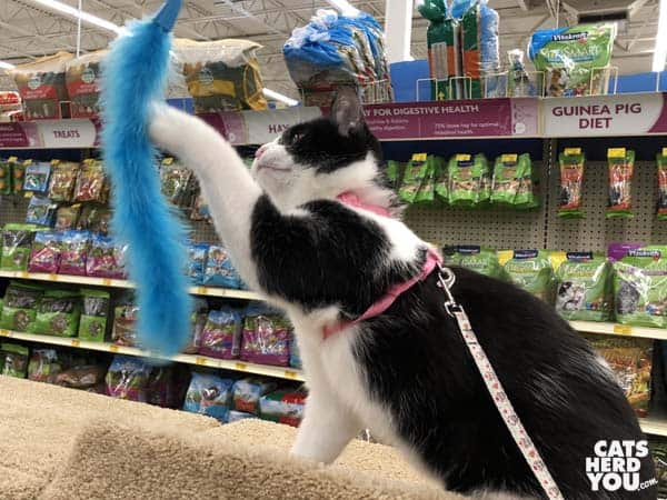 black and white tuxedo cat swats blue feather toy