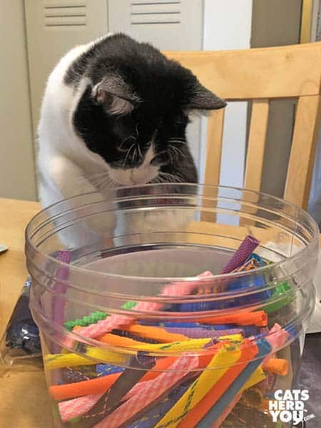 black and white tuxedo cat looks into container of brightly colored toys