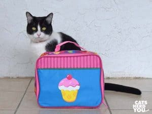 black and white tuxedo cat stands next to cupcake lunchbox