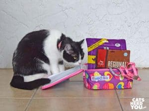 black and white tuxedo cat looks at lunchbox full of cat items