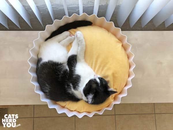 black and white tuxedo cat in Pidan egg tart bed