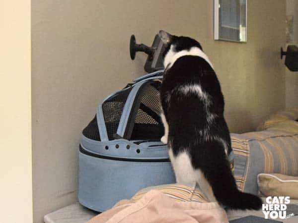 black and white tuxedo cat looks into Sleepypod pet bed