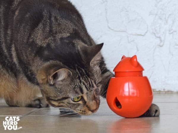 one-eyed brown tabby cat plays with doyencat