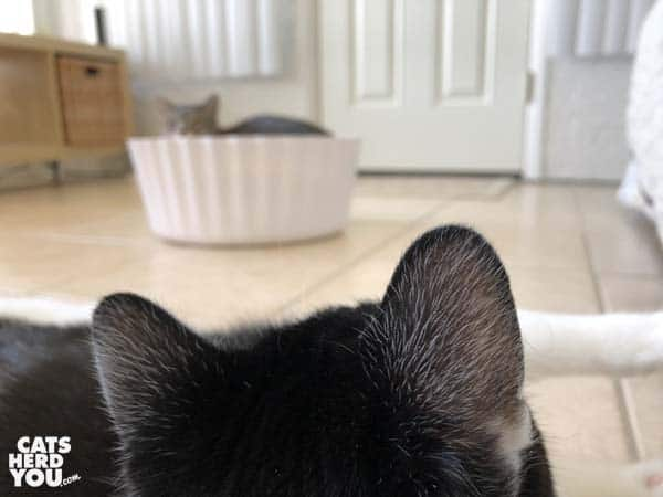 black and white tuxedo cat looks at gray tabby cat in cupcake bed
