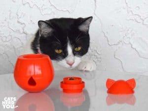 black and white tuxedo kitten looks at disassembled doyencat