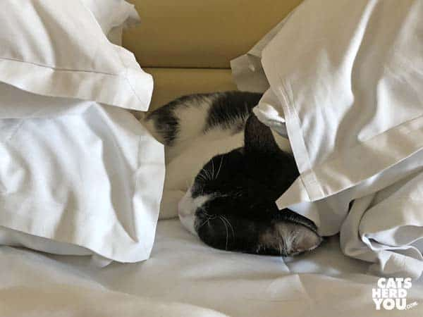 black and white tuxedo cat sleeps between pillows