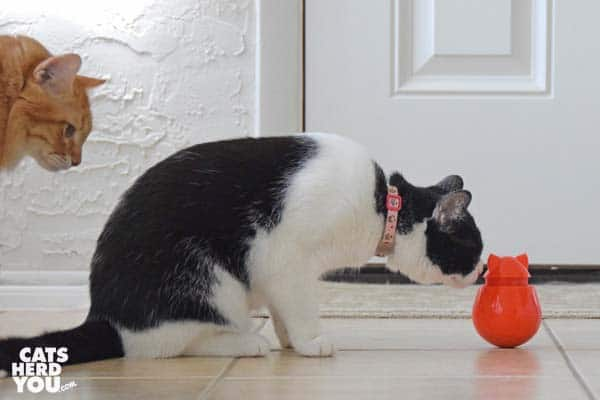 black and white tuxedo cat sniffs Doyenworld toy while orange tabby cat looks on