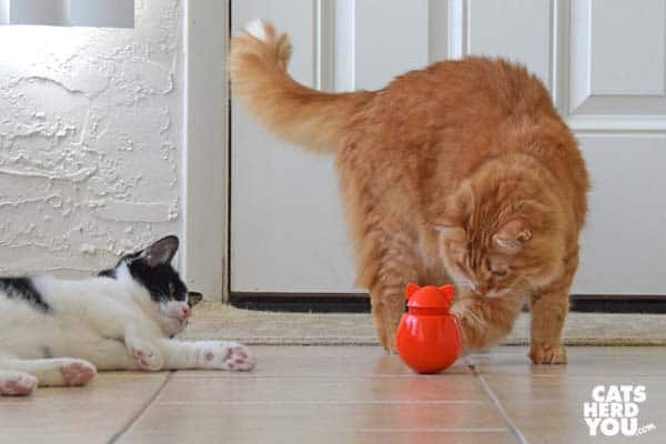 orange tabby cat plays with Doyenworld toy while black and white tuxedo cat looks on