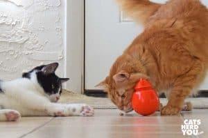 orange tabby cat sniffs treat while black and white tuxedo cat looks on