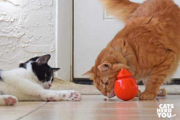orange tabby cat sniffs treat while black and white tuxedo cat looks on