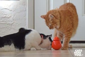 black and white tuxedo cat steals treat from orange tabby cat
