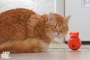 orange tabby cat looks at camera