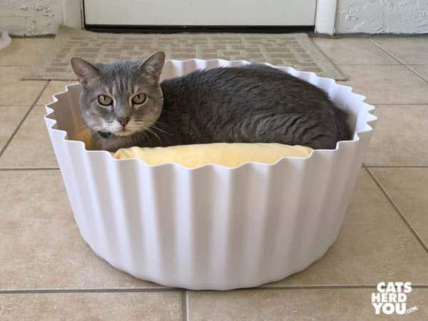 gray tabby cat in cupcake bed