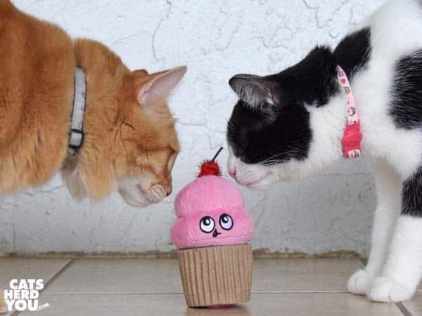 black and white tuxedo cat and orange tabby cat inspect cupcake toy