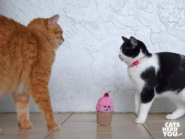 orange tabby cat and black and white tuxedo cat face off over cupcake toy