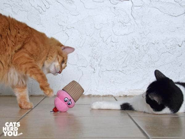 orange tabby cat plays with cupcake toy while black and white tuxedo cat looks on
