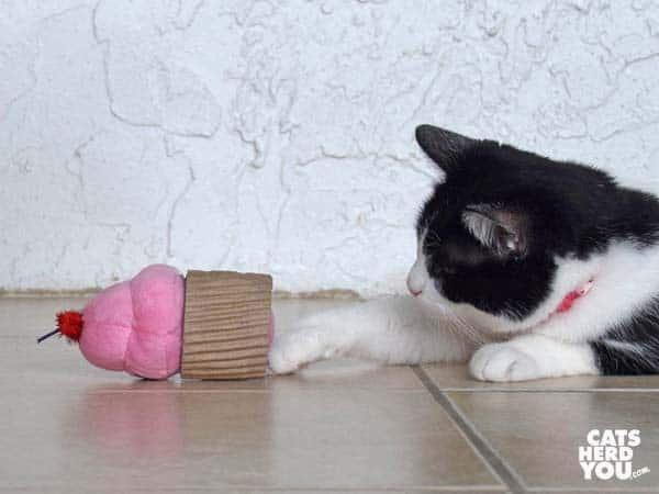 black and white tuxedo cat plays with cupcake toy