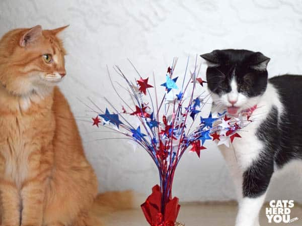 orange tabby cat watches as black and white tuxedo cat plays with red, white, and blue centerpiece