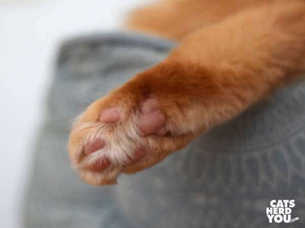 orange cat's foot