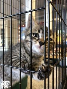 brown tabby kitten in cage